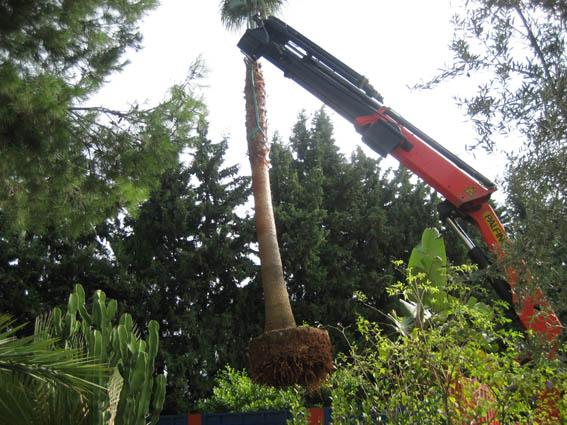 Plantacion de palmeras1 jardines y piscinas borrego for Jardines y piscinas borrego